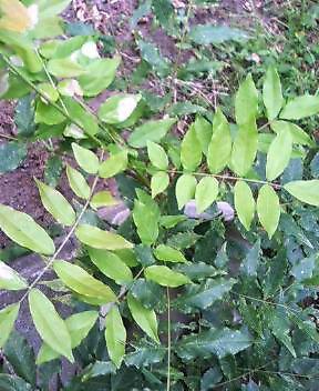 藤のとり木