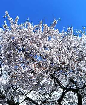 仙台アメ横市場駐車場前の桜